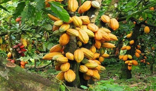 Kakao Ağacı Nerede Yetişir?