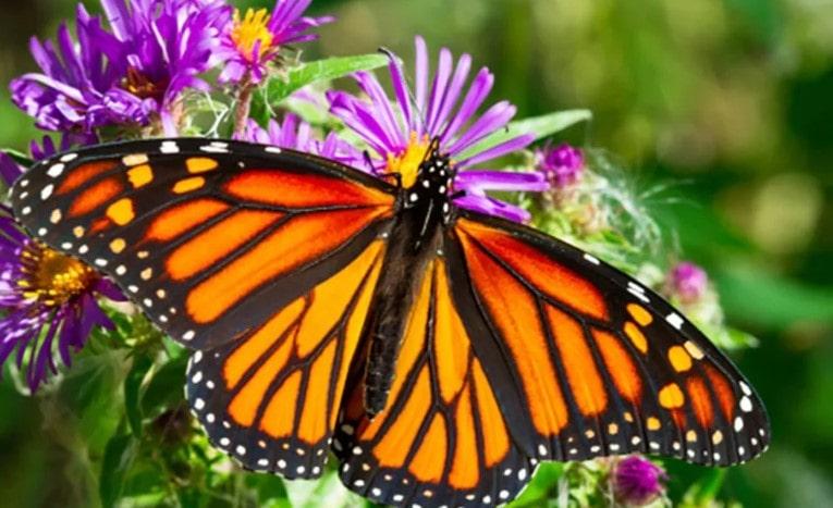 kelebeklerin özellikleri