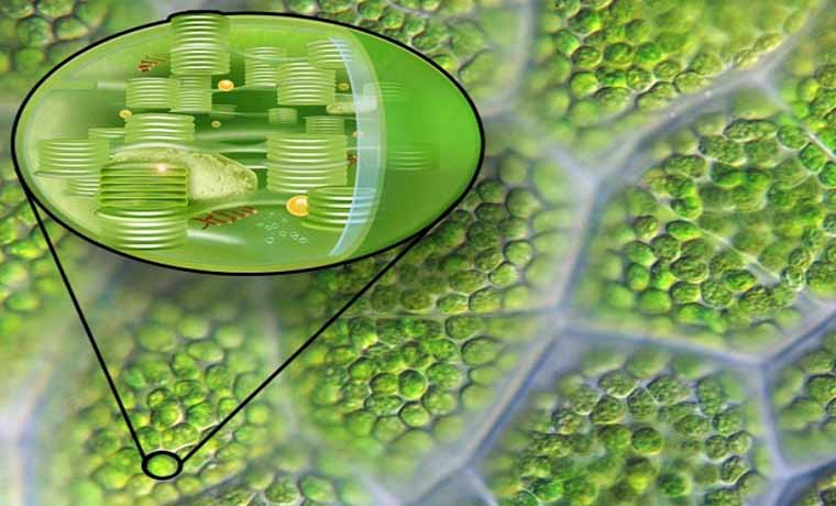 Kloroplast Nedir